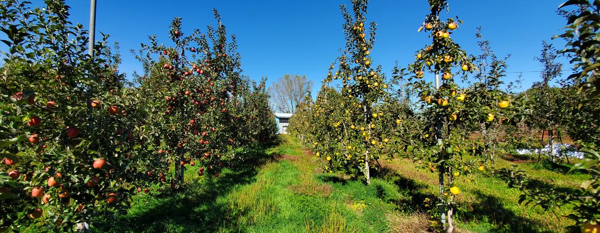 さいきち農園-りんご販売
